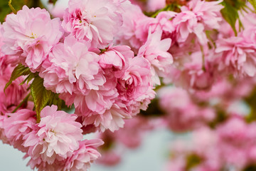 Branches of blossoming pink cherry in the spring