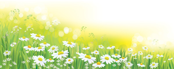 Vector nature  background, daisy  flowers field.