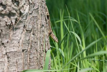 lucertola su un albero