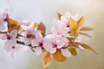 Wild Cherry tree blossom close-up. Pastel pink cherry flower on natural background.