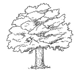 Drawing of oak tree - hand sketch of plant, black and white illustration
