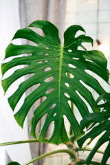 Exotic tropical Monstera palm leaf, copy space. Green leaves of monstera palm or split-leaf philodendron. Monstera deliciosa foliage plant. Exotic plant. Floral Pattern. Close up of monstera leaves