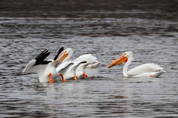 Pelicans Eating Feet in the Air