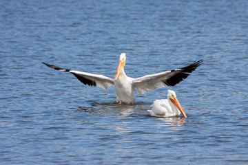 American white pelican bows to another