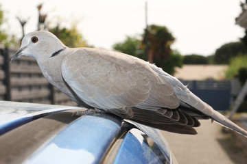 Turtledove walking on the car outdoor