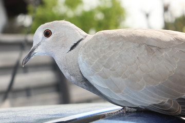 gray Turtle dove Streptopelia dekaocto bird portrait outdoor