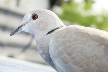 grey Turtledove Streptopelia dekaocto bird portrait