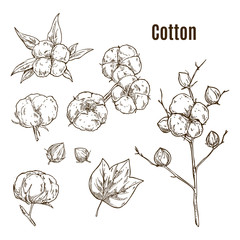 Set of isolated sketches of cotton bolls, branch