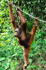 Orang utan swinging at the stick