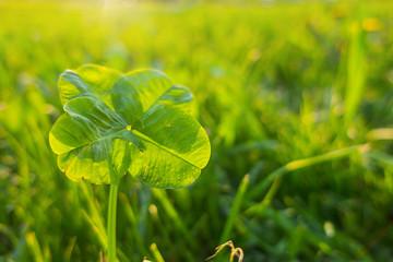 quadrifoglio verde banner prato sole