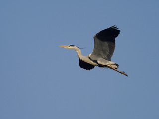 Fotoväggar - Grey heron. Ardea cinerea