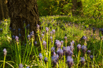Muscari racemosum,  grape hyacinth flower in Budapest Aquincum