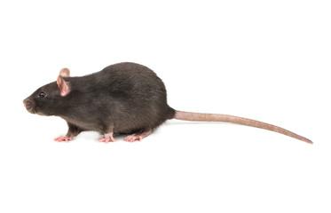 Grey rat isolate