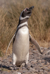 Magellan Penguin (Spheniscus magellanicus) in Patagonia