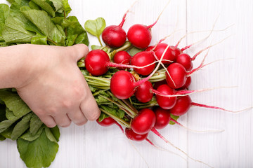 Fresh red radishes with tops in hands on white background. Top view.