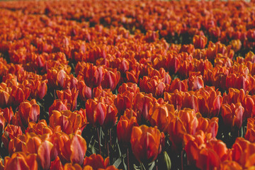 orange tulips field