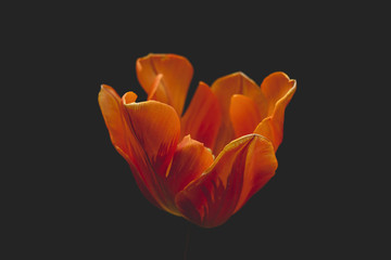 orange tulip detail