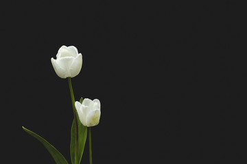 Two white tulips on dark background