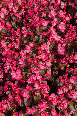 Floral background of pink everblooming begonia in flowerbed with dark foliage, pink begonia semperflorens growing in flower bed