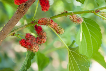 Fresh mulberry fruit on tree