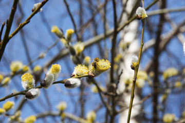 The blossoming willow in sunny day - a bee collects pollen