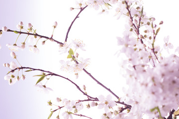 Spring cherry blossom.Abstract background
