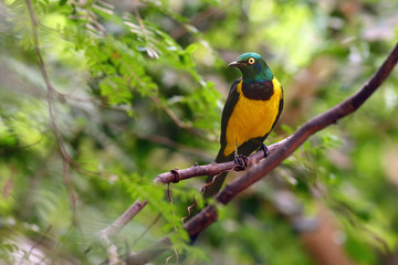 The golden-breasted starling (Lamprotornis regius), also known as royal starling. Starling in the green.