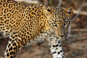 Poster Leopard The Sri Lankan leopard (Panthera pardus kotiya), female portait of wild leopard