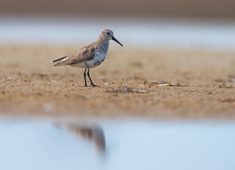 Dunlin in winter plumage (Calidris alpina)