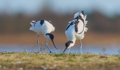 Couple of Pied avocets (Recurvirostra avosetta). Kinburn peninsula, Ukraine