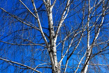 Birke blattlos vor blauem Himmel