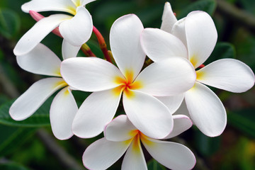 Fragrant blossoms of white and yellow frangipani flowers, also called plumeria and melia