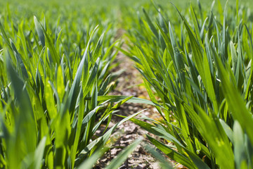 Young green wheat grows in a field. Rows with diseased wheat sprouts