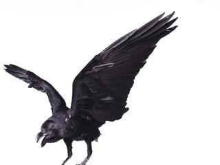 Close-up black raven on white background