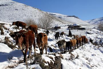 Herdsmen guide their cattle towards grazing areas near Makopanong village in eastern Lesotho