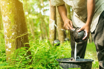 Rubber planters are harvested in the rubber tree garden