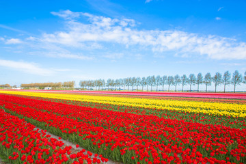 Colorful tulip flower field. Multicolored bright tulips flowers.