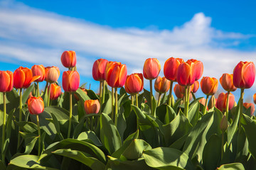Orange tulip is a Dutch symbol.