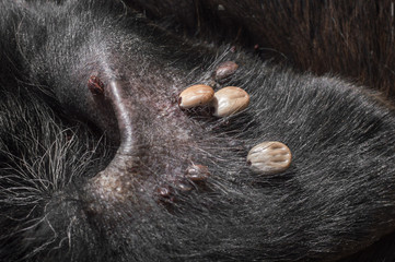 mites in the dog in the ear. close up