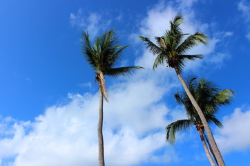 Tropical coconut palm trees on blue sky with cloud background