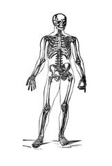 Human Skeleton Illustration Vintage