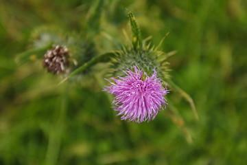 Schottische Distel in violet, purpur pink auf der Wiese
