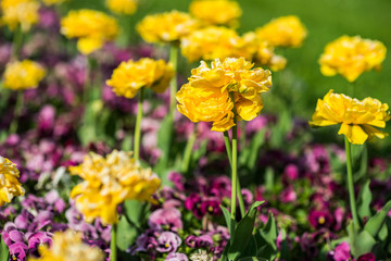 Summer flower sedd bed in a colorful garden with lawn