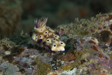 Nudibranch Hypselodoris tryoni. Picture was taken in the Banda sea, Ambon, West Papua, Indonesia