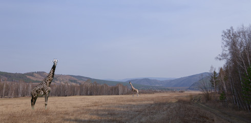 giraffes on the plains of Siberia. Collage