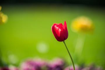 Red tulip alone in the green summer garden
