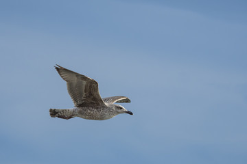 seagull in flight with wings spread out