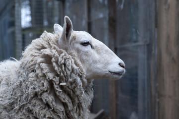 Sheep near building