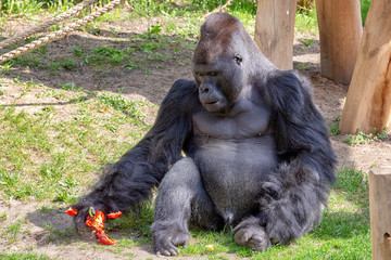 Silverback, male gorilla sitting on grass and crushing a capsicum with its hand.