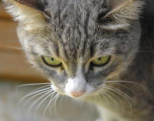 Portrait of gray cat walks outdoor